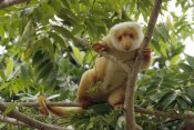 Konrad Wothe - Spotted Cuscus portrait in tree, Irian Jaya, New Guinea