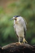 Konrad Wothe - Black-crowned Night Heron calling, Europe