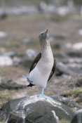 Konrad Wothe - Blue-footed Booby in courtship dance, Galapagos Islands, Ecuador
