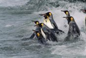 Konrad Wothe - King Penguin group entering water, South Georgia Island