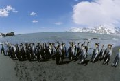 Konrad Wothe - King Penguin colony along shoreline, South Georgia Island