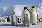 Konrad Wothe - Emperor Penguins and chick, Antarctica