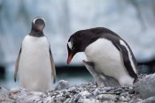 Konrad Wothe - Gentoo Penguin parent with chick begging for food, Antarctica