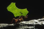 Konrad Wothe - Leafcutter Ant carrying leaf and rider back to nest, Honduras