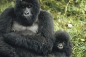 Konrad Wothe - Mountain Gorilla mother and baby, central Africa