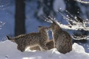 Konrad Wothe - Eurasian Lynx pair touching noses, Bayerischer Wald NP, Germany