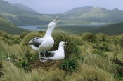 Konrad Wothe - Southern Royal Albatrosses at nest, Campbell Island, New Zealand