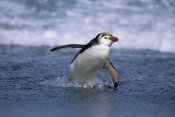Konrad Wothe - Royal Penguin coming ashore, Macquarie Island