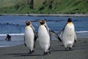 Konrad Wothe - King Penguin trio on shoreline, Macquarie Island