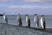 Konrad Wothe - King Penguin group on rocky shoreline, Macquarie Island