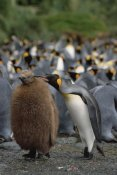 Konrad Wothe - King Penguin parent grooming chick, Macquarie Island