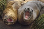 Konrad Wothe - Southern Elephant Seal pair calling, Macquarie Island
