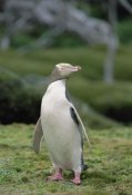 Konrad Wothe - Yellow-eyed Penguin albino portrait, Enderby Island, New Zealand
