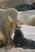 Konrad Wothe - Hooker's Sea Lion mother nuzzling pup, Enderby Island, New Zealand