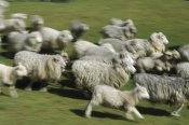Konrad Wothe - Domestic Sheep herd running, New Zealand