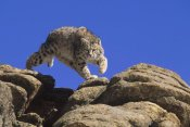 Konrad Wothe - Bobcat leaping from rocks, Colorado