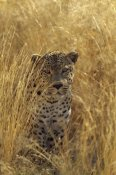 Konrad Wothe - Leopard in grass country, Etosha National Park, Namibia