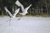 Konrad Wothe - Red-crowned Crane pair courting, Hokkaido, Japan