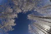 Konrad Wothe - Winter Aspen canopy, Yellowstone National Park, Wyoming