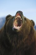 Konrad Wothe - Grizzly Bear close up of growling face