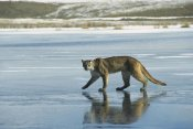Konrad Wothe - Mountain Lion walking on frozen lake, North America