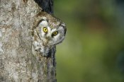 Konrad Wothe - Boreal Owl peaking through hole in tree, Sweden