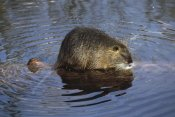 Konrad Wothe - Nutria standing on log in shallow water, South America