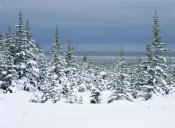 Konrad Wothe - Spruce trees in snow, boreal forest, Hudson Bay, Canada