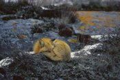 Konrad Wothe - Red Fox sleeping on lichen covered rock, Churchill, Canada