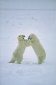 Konrad Wothe - Polar Bear males fighting, Hudson Bay, Canada