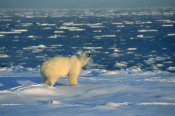 Konrad Wothe - Polar Bear on ice field, Churchill, Manitoba, Canada