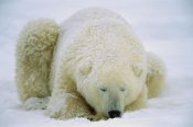 Konrad Wothe - Polar Bear sleeping in the snow, Hudson Bay, Canada