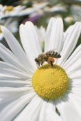 Konrad Wothe - Honey Bee collecting pollen from daisy, Germany