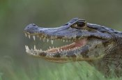 Konrad Wothe - Spectacled Caiman mouth agape, Pantanal, Brazil