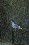 Konrad Wothe - Glaucous-winged Gull in the rain, Kenai Fjords NP, Alaska