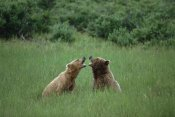 Konrad Wothe - Grizzly Bears sparring, Katmai National Park, Alaska