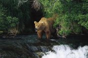 Konrad Wothe - Grizzly Bear fishing, Brooks River Falls, Katmai NP, Alaska