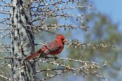 Konrad Wothe - Northern Cardinal male perched in cactus, Arizona