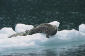 Konrad Wothe - Harbor Seal mother and pup resting on ice floe, Alaska
