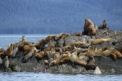 Konrad Wothe - Steller's Seas group congregating on rock, West Brothers Island, Alaska