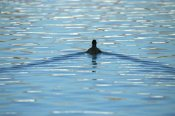 Konrad Wothe - Coot swimming away, Germany