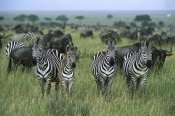 Konrad Wothe - Burchell's Zebras and Wildebeest, Serengeti National Park, Tanzania