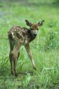 Konrad Wothe - White-tailed Deer fawn in spring meadow, North America