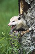 Konrad Wothe - Virginia Opossum female hissing from tree cavity, North America