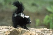 Konrad Wothe - Striped Skunk kit on log with raised tail to spray, North America