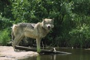 Konrad Wothe - Timber Wolf on riverbank, North America