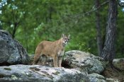 Konrad Wothe - Mountain Lion adult, North America