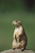 Konrad Wothe - Black-tailed Prairie Dog sitting upright, North America