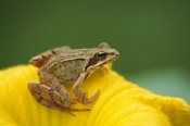 Konrad Wothe - Agile Frog on flower, Bavaria, Germany