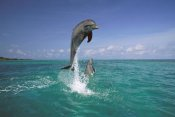 Konrad Wothe - Bottlenose Dolphin leaping, Caribbean